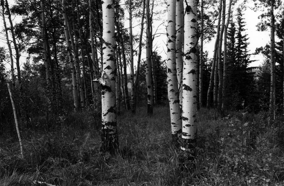 Poplars 300